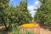 picture of fill  - Harvesting in the lemon garden - JPG