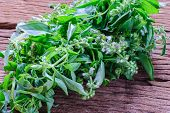 picture of basil leaves  - Close up Sweet basil leaf from Thailand - JPG