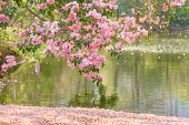 pic of trumpets  - Beautiful Pink Trumpet flower or Tabebuia heterophylla selective focus - JPG