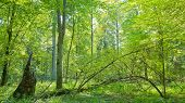 foto of linden-tree  - Deciduous trees illuminated by midday bright sun - JPG