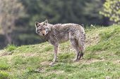 image of coy  - A lone coyote in a rocky - JPG