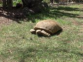 picture of tortoise  - A large tortoise in a botanical garden in Madeira Portugal - JPG