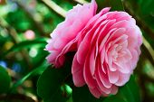 picture of weeping  - Close up of weeping pink rose tree with soft filter  - JPG
