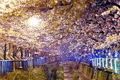 pic of night-blooming  - cherry blossoms at night - JPG