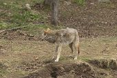 pic of coy  - A lone Coyote in the forest in fall - JPG
