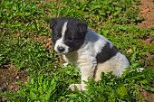 stock photo of little puppy  - A little funny puppy white with black spots walks in the garden in early spring - JPG