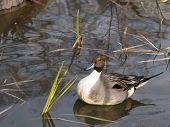 picture of duck-hunting  - beautiful plump duck with intelligent eyes floating in a pond and is reflected in the water surface and green sedge grows vertically - JPG