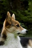 image of corgi  - the profile of the face of a welsh corgi - JPG