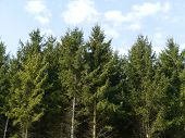 picture of opposites  - Fir trees opposite a blue sky with white couds - JPG