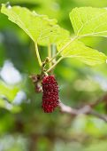 image of mulberry  - red mulberry fruit on tree - JPG