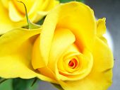 pic of yellow rose  - yellow rose - JPG