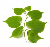 foto of lime-blossom  - Spring tilia leafs isolated on white background - JPG
