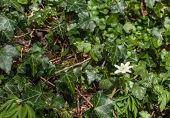 picture of ivy  - Anemone flower surrounded by green ivy leaves
