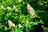 foto of chestnut horse  - Blooming beautiful horse chestnut blossoms in springtime - JPG