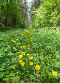 stock photo of backwoods  - Yellow dandelions are growing in the forest - JPG