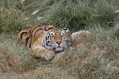 image of tigress  - portrait of a Siberian Tiger laying in a field of tall grass - JPG