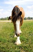 image of gypsy  - A curious young Gypsy Vanner horse walking close - JPG