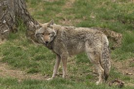 stock photo of coyote  - A lone Coyote in a forest environment - JPG