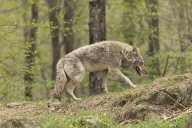pic of coyote  - A lone Coyote in a forest environment  - JPG