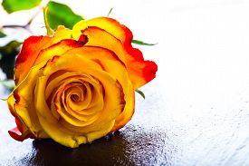 stock photo of orange  - Rose - JPG