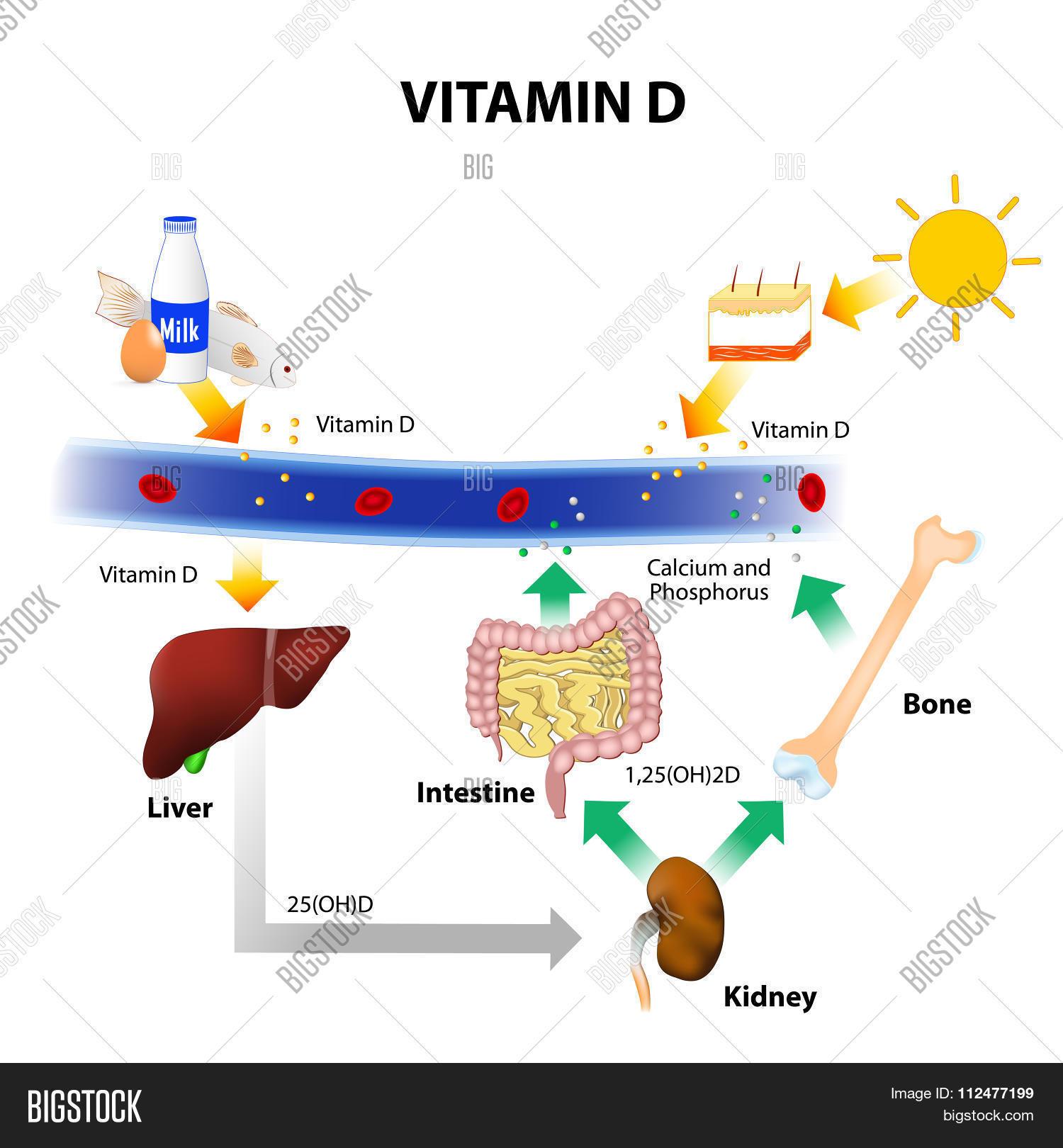 Schematic Diagram Of Vitamin D Metabolism Stock Vector & Stock ...