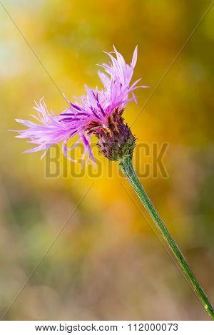 Violet Cornflower