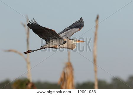Great Blue Heron Flying Over A Florida Marsh