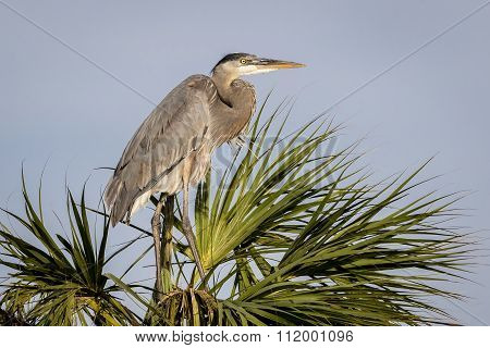 Great Blue Heron Nesting On A Pam Tree - Florida