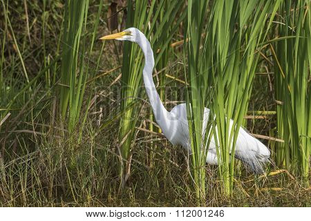 Great Egret In A Cattail Marsh - Florida