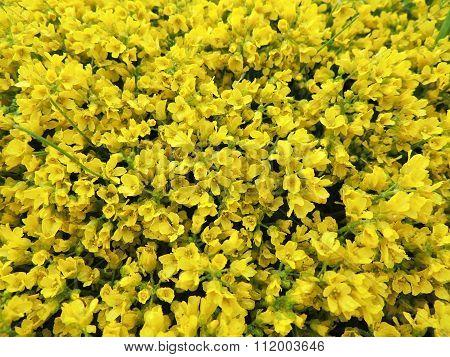 Draba mossy or semolina (Draba imbricata), cruciferous