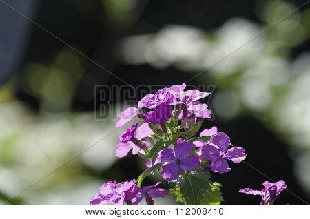 Lunaria's Flower