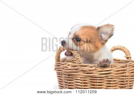 Adorable Chihuahua Puppy In Basket