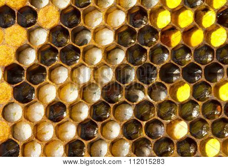 The Larvae Of Bees And Pollen