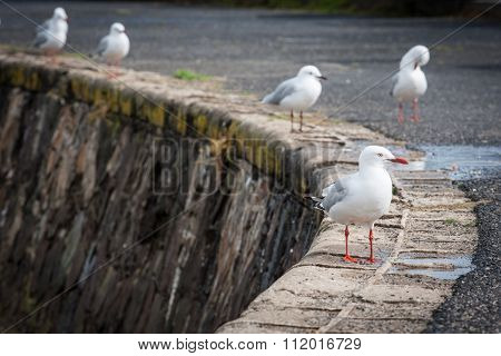 Closeup Of A Seagull With Blurred Seagulls In The Background