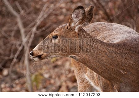 female deer doe