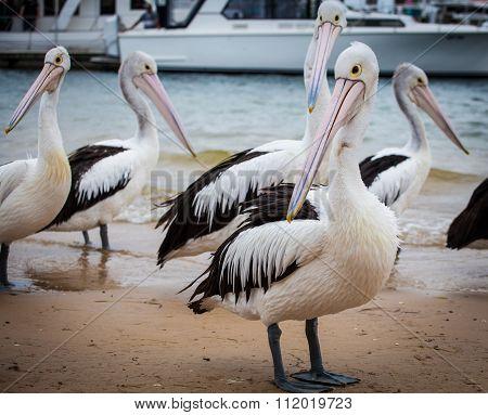 Extreme Closeup Of Australian Pelican