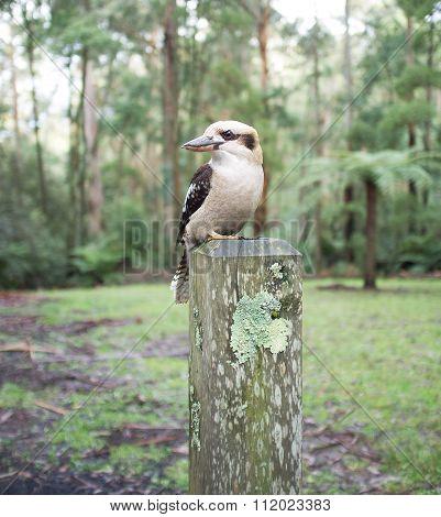 Laughing Kookaburra Sitting On Wooden Pole