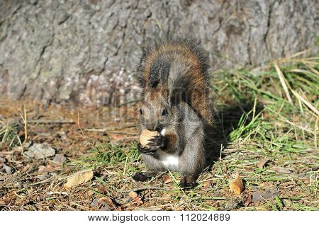 The red squirrel or Eurasian red squirrel