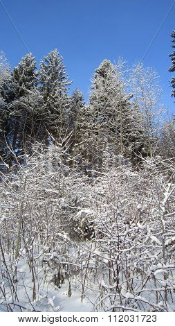 Frosty Shrubs