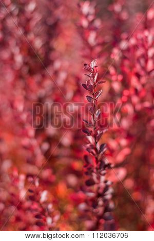 Barberry Twig With Red Leaves