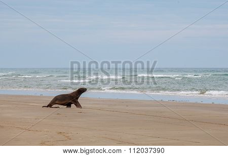 Sea Lion Walking On The Beach, Otago New Zealand