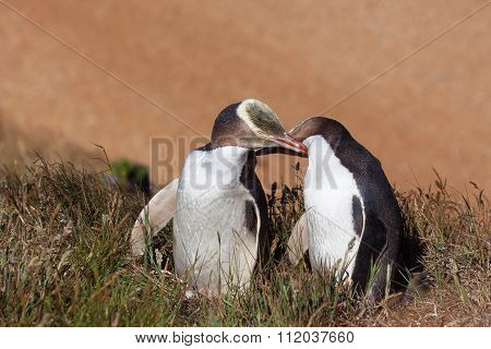 Two Yellow Eyed Penguins Touching Eachother