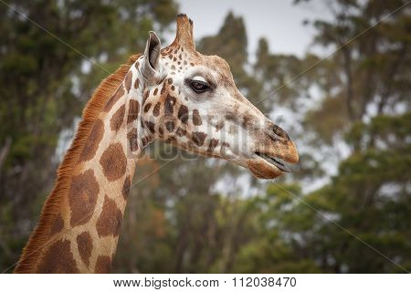 Girafe Portrait