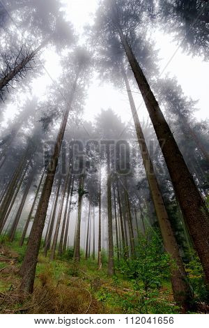 Beautiful Pinetrees In The Foggy Forest, French Nature