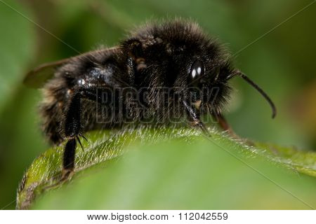 Field cuckoo bee (Bombus campestris)