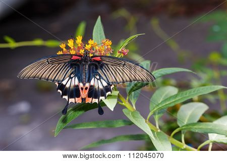 Female Yellow Body Great Mormon Butterfly