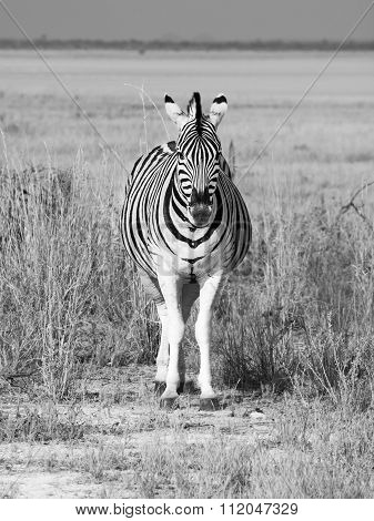 Front view of zebra on sunny day
