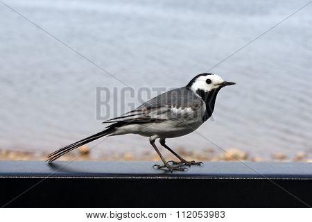 Bird Wagtail