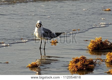 Seagull Standing in Surf with Sea Turtle in Beak