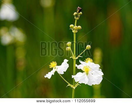 White Wildflower Florida Wetlands